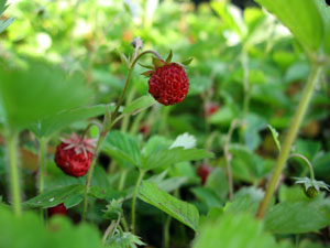 0611 jardin fraise1.jpg