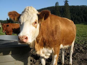 0801 vache.jpg